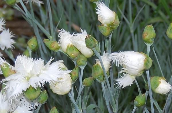 oeillet blanc DSC_0812