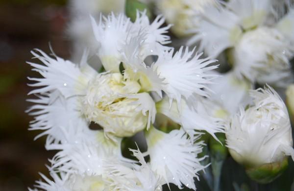 oeillet blanc DSC_0811