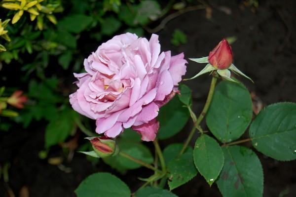 rose Charles de Gaulle DSC_0266