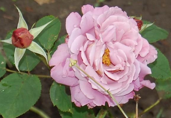 rose Charles de Gaulle DSC_0272