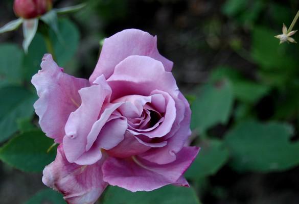 rosier Charles de Gaulle DSC_0610