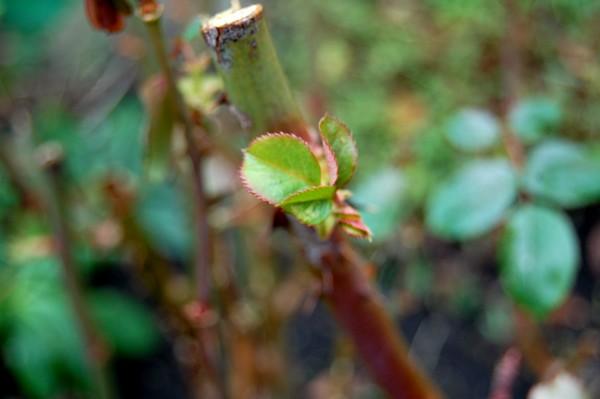 feuille de rosier DSC_0133