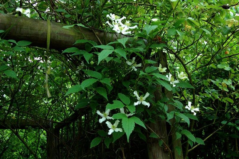 clématite montana wilsonii DSC_0349