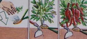 poivrons,culture de poivrons