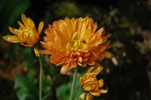 Chrysanthème kleiner bernstein