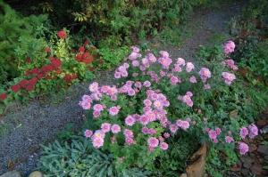 chrysanthème vivace rose
