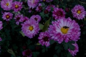 chrysanthème,chrysanthème vivace,chrysanthème Mei Kyo