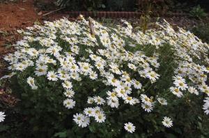 Chrysanthème vivace, Arctanthemum arcticum 'Polarstern'