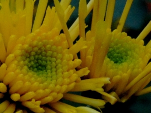 chrysanthème,chrysanthème vivace,chrysanthème Tokyo
