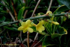 jasminum nudiflorum,jasmin d hiver