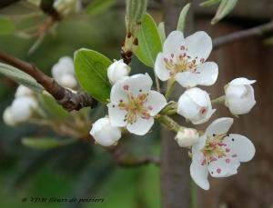 fleur de poirier,poirier,fruitiers,verger,poiriers en espalier