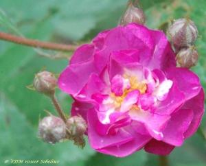rosier sibelius