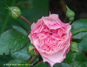 Rosier Maria theresia, rose rose