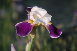 iris germanica,iris