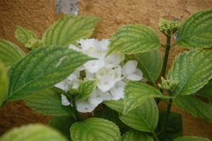 hortensia,hydrangea