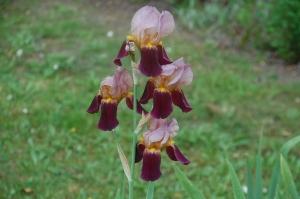 iris,iris germanica