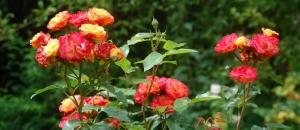 rosier ruma,fleur orange