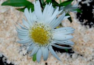 marguerite à fleur double,leucanthemum Wirral supreme,plante vivace,fleur blanche,