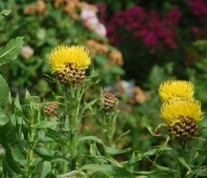 centaurée,vivace,fleur jaune,centaurée macrocéphale