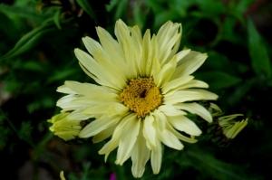 marguerite crème banane,leucanthemum banana cream,fleur jaune,jardin méditerranéen