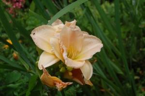 hémérocalle,lys d'un jour,fleur crème
