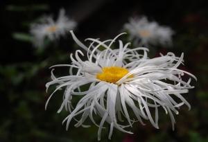 marguerite,leucanthemum,oki court