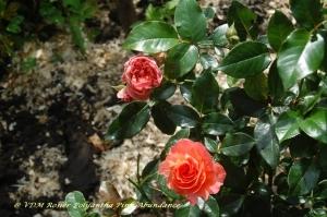 rosiers,polyantha,pink abundance