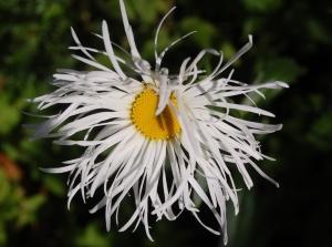 marguerite, leucanthemum oki court (3).JPG