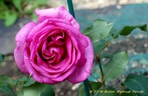 Parole,rosier hybride,couleur mauve,rosier remontant