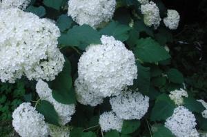 hydrangea,hortensia,Annabelle,fleur blanche,floraison de juillet