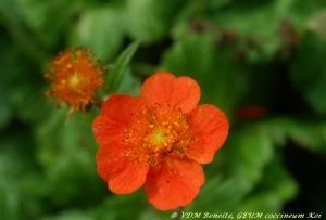 benoîte,geum coccineum koi,fleur orange,été