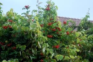 bignone,plante grimpante