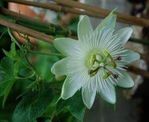 passiflore,Constance elliot,plante grimpante