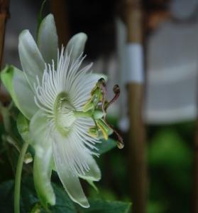 passiflore,constance elliot,fleur blanche