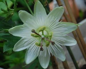 passiflore,constance elliot,plante grimpante,fleur blanche