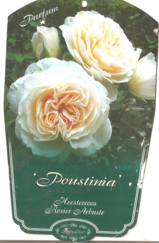 rosier,poustinia,rosier arbuste remontant
