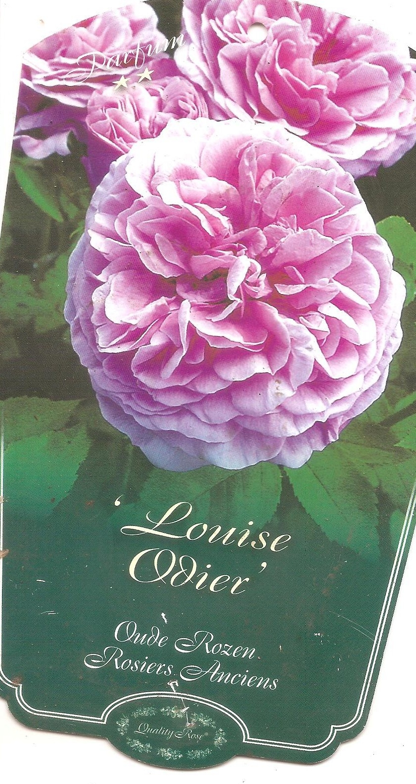 louise odier,rosier