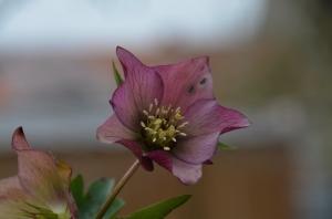 hellébore,rose de noël