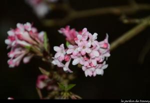 viorne,viburnum dawn